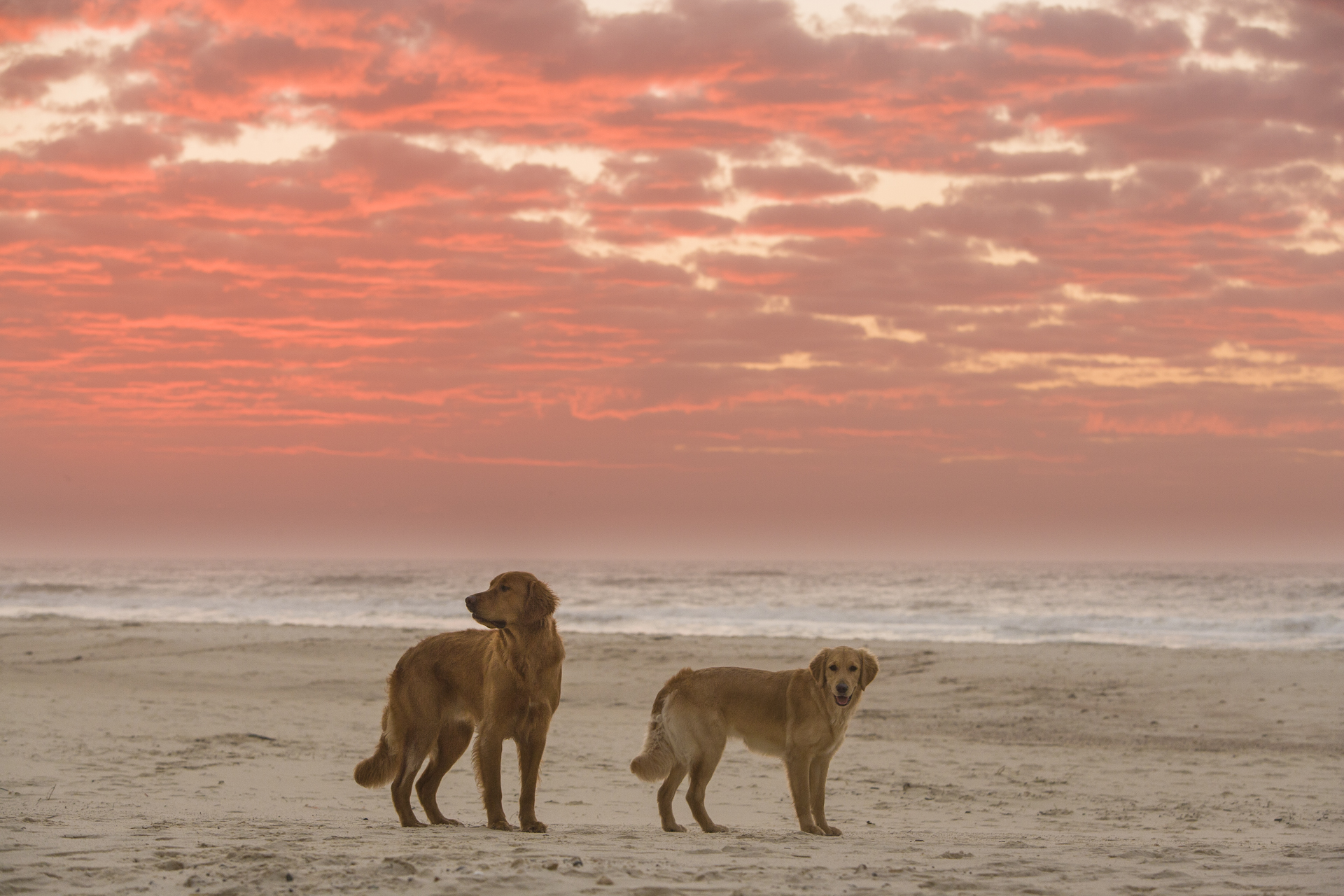 Golden Retriever Jasper, 22-month-old and LuLu, 9-month-old, watch sunrise along a shore at Fort Morgan Beach in Alabama.
