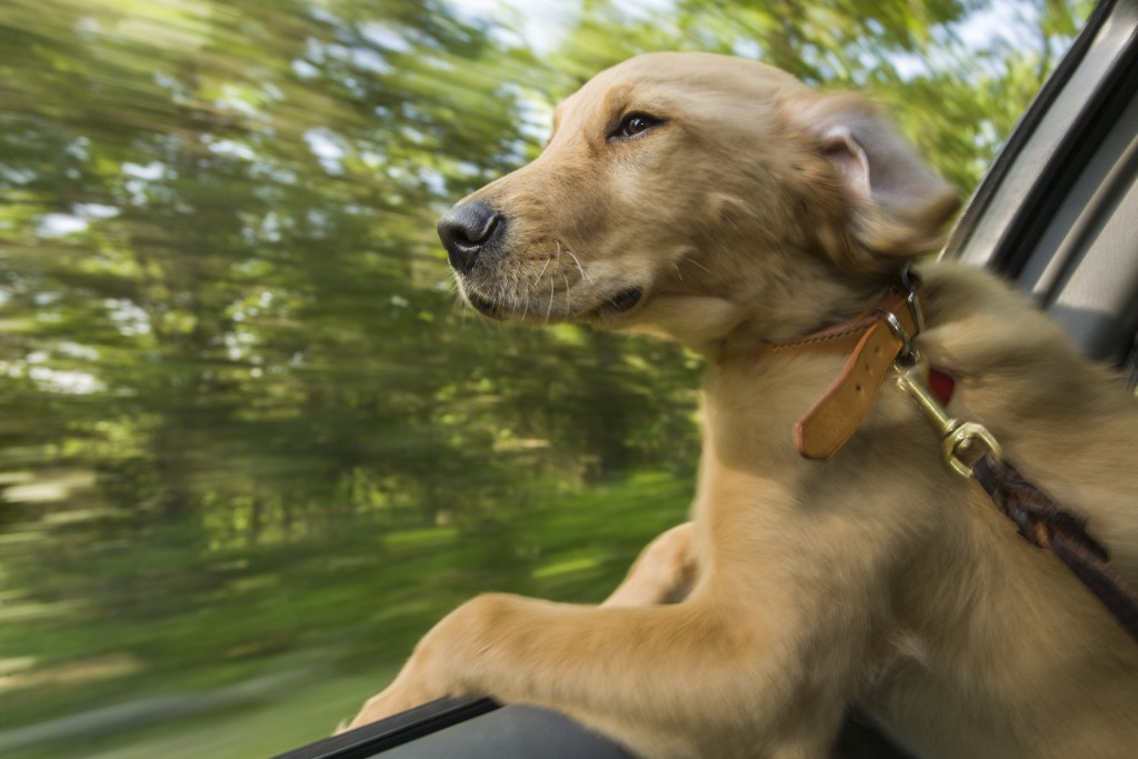 16-week-old, Golden Retriever, Jasper peek out a car window while enjoying a wind on his face during a car ride to Lake of Ozark State Park.